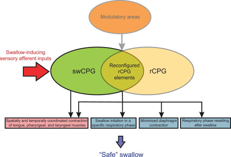 The Generation Of Pharyngeal Phase Of Swallow And Its Coordination
