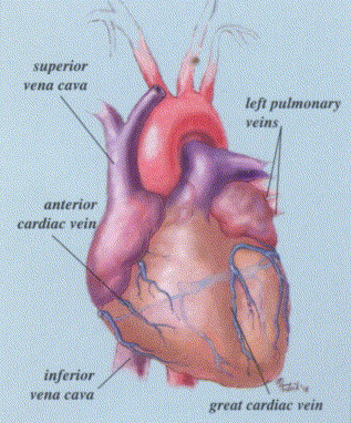 Cardiac Anatomy and Physiology: A Review - ScienceDirect