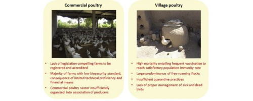 Characteristics of commercial and traditional village poultry