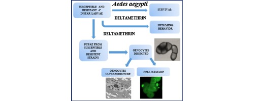 Pesticide Effect On Cells May Resemble >> Deltamethrin Mediated Survival Behavior And Oenocyte