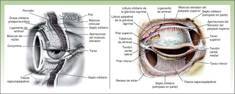 Cirugía oncológica de párpado y la región orbitaria - ScienceDirect