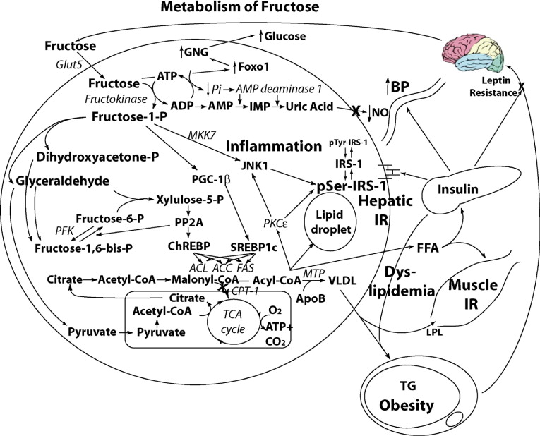 Fructose Metabolic Hedonic And Societal Parallels With Ethanol