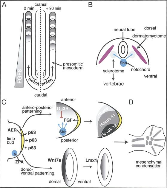 Genetic Disorders Of The Skeleton A Developmental Approach