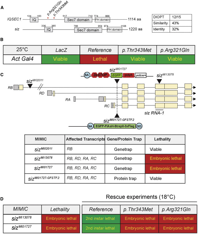 Bi-allelic Variants in IQSEC1 Cause Intellectual Disability
