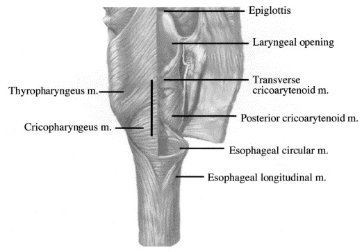 Functional Anatomy And Physiology Of The Upper Esophageal Sphincter