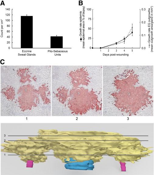Eccrine Sweat Glands are Major Contributors to Reepithelialization ...