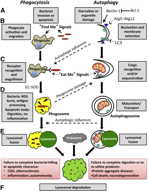 It's a Cell-Eat-Cell World: Autophagy and Phagocytosis