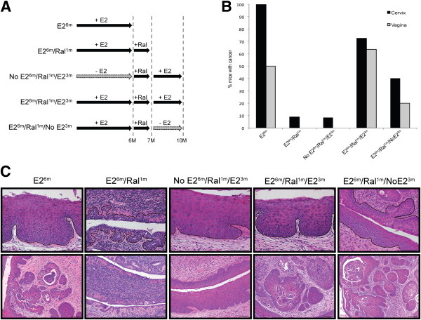 Recurrence of Cervical Cancer in Mice after Selective Estrogen