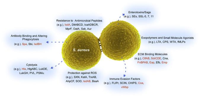importance of staphylococcus aureus