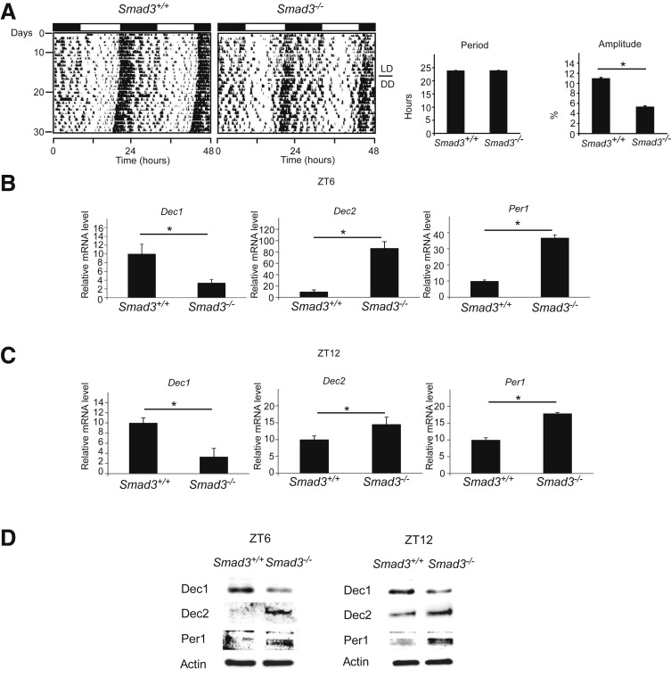 Smad3 Suppresses Epithelial Cell Migration and Proliferation via the