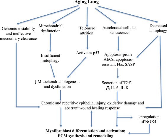 The Aging Lung and Idiopathic Pulmonary Fibrosis - ScienceDirect