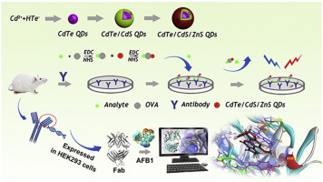 Application Of Cdte Cds Zns Quantum Dot In Immunoassay For Aflatoxin
