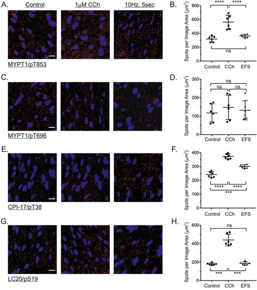 Quantitative in situ proximity ligation assays examining protein