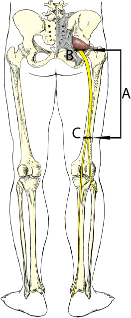 Anatomical structure and topographic anatomy of sciatic nerve in ...