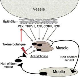Toxine botulique chez le rat. Does pap smear detect hpv virus