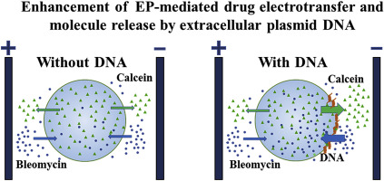 Enhancement Of Drug Electrotransfer By Extracellular Plasmid