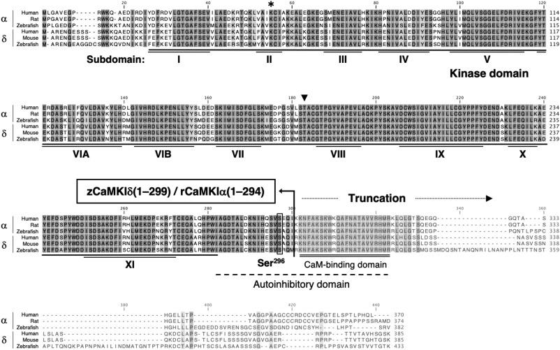 Autoactivation of C-terminally truncated Ca2+/calmodulin