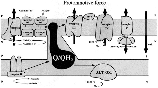 Control of plant mitochondrial respiration - ScienceDirect
