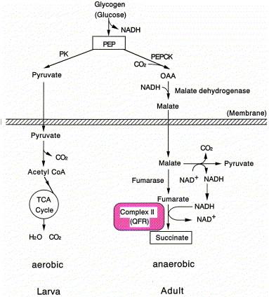 mitochondria ascaris