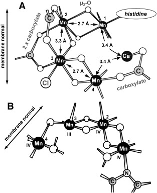 Structural Models Of The Manganese Complex Of Photosystem Ii And