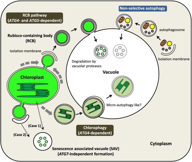 Roles Of Autophagy In Chloroplast Recycling Sciencedirect