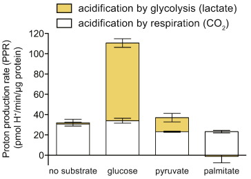 The contributions of respiration and glycolysis to extracellular