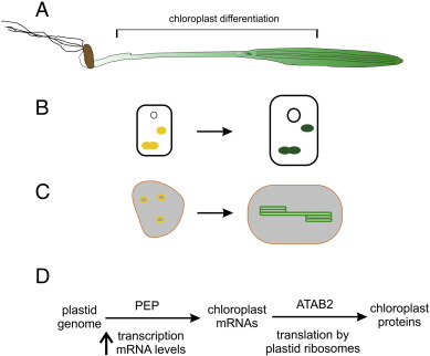 Translational regulation in chloroplasts for development and download high res image 174kb ccuart Image collections