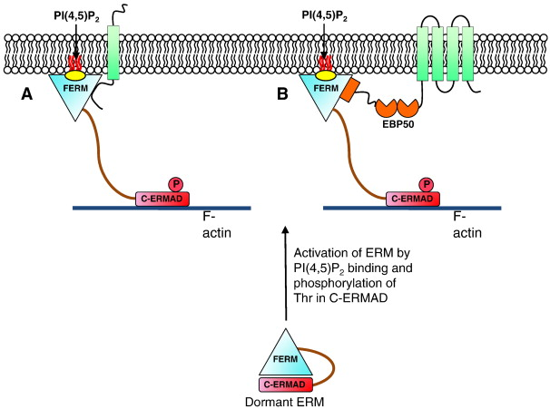 Clic Proteins Ezrin Radixin Moesin And The Coupling Of Membranes