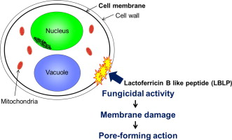 Antifungal effect and pore-forming action of lactoferricin B