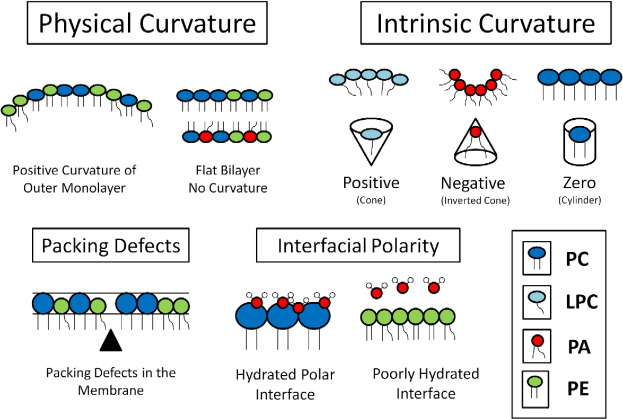 Membrane curvature modulation of protein activity determined