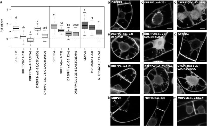 Evolutionary plasticity of plasma membrane interaction in