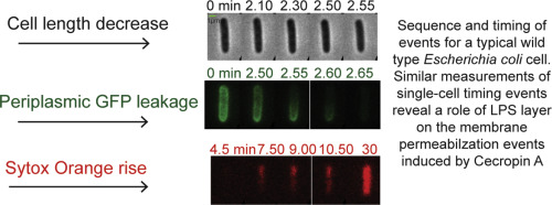 Effects of alterations of the E  coli lipopolysaccharide layer on