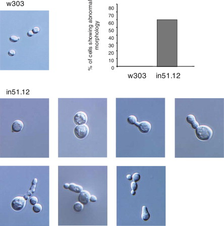 Characterization of the BUD31 gene of Saccharomyces cerevisiae
