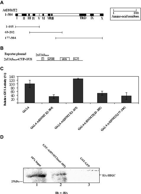 Arabidopsis DNA methyltransferase AtDNMT2 associates with histone ...