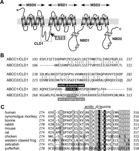 Involvement of a di-leucine motif in targeting of ABCC1 to the