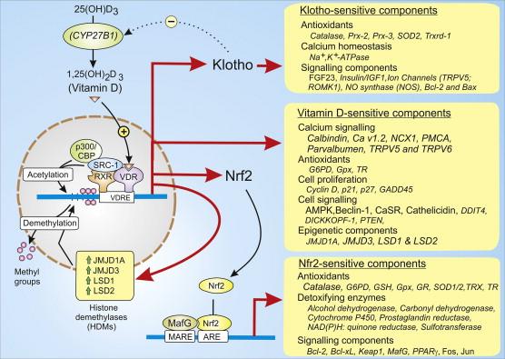vitamin d nmda