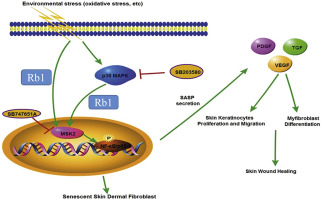 Possible Role Of Ginsenoside Rb1 In Skin Wound Healing Via