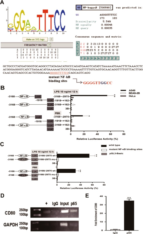 The LncRNA MALAT1 regulates CD80 transcription via the NF-κB