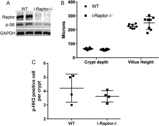 Intestinal epithelial cell-specific Raptor is essential for