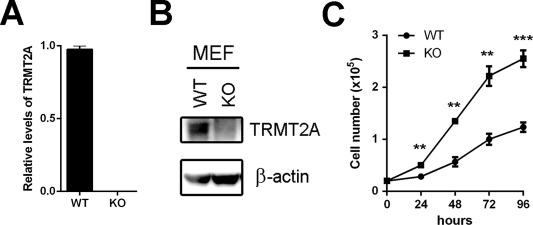TRMT2A is a novel cell cycle regulator that suppresses cell