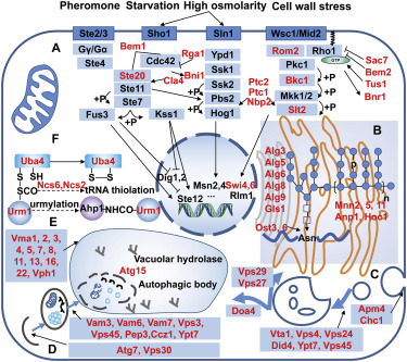 Genome-wide screening of Saccharomyces cerevisiae deletion