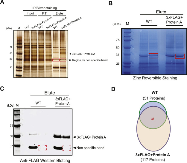 Characterization Of An Anti Flag Antibody Binding Protein In V Cholerae Sciencedirect