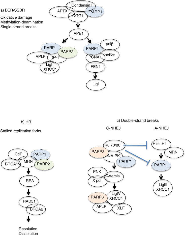 The diverse roles and clinical relevance of PARPs in DNA