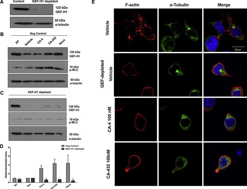 Combretastatin (CA)-4 and its novel analogue CA-432 impair T