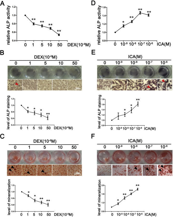Icariin protects against glucocorticoid induced osteoporosis