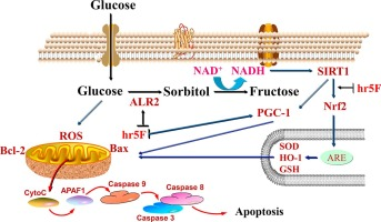 pgc 1 diabetes alfa y alcohol