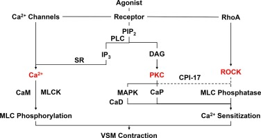 Evolving mechanisms of vascular smooth muscle contraction highlight