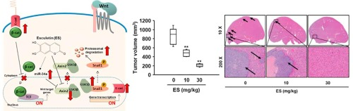 Esculetin Suppresses Tumor Growth And Metastasis By Targeting Axin2 E Cadherin Axis In Colorectal Cancer Sciencedirect
