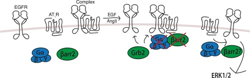 BRET-based assay to monitor EGFR transactivation by the AT1R