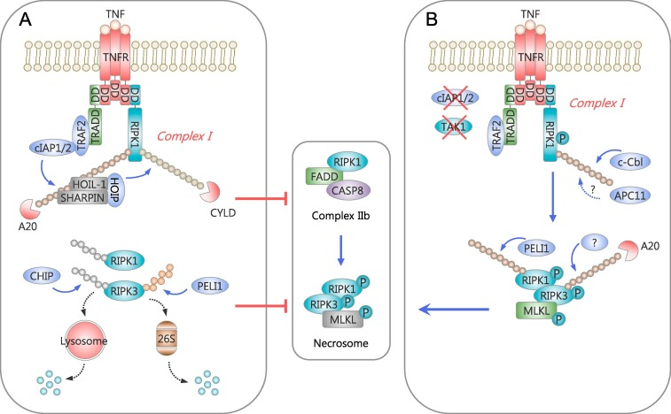 fda5970699d7 The roles of ubiquitination in extrinsic cell death pathways and its ...